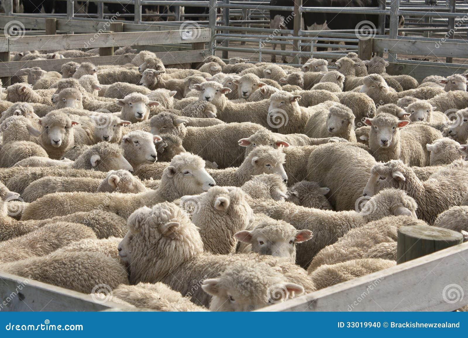 Sheep In Pen Stock Photo