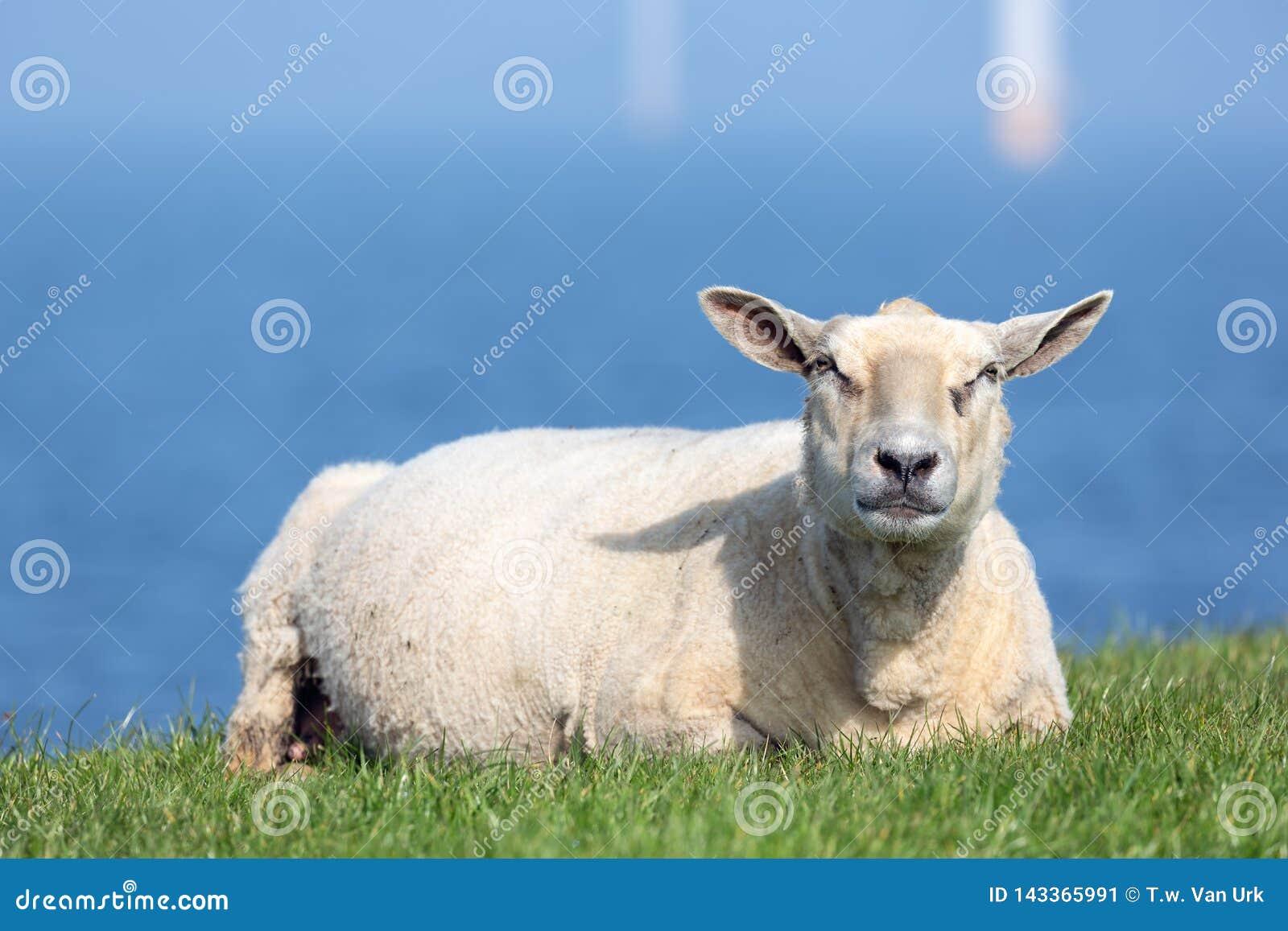 Sheep resting at dike near Dutch sea with silhoutte windturbines