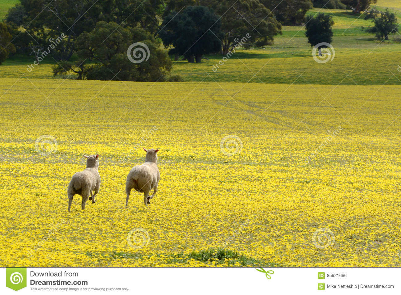 Sheep On The Run Across A Field Of Yellow Flowers Stock Photo