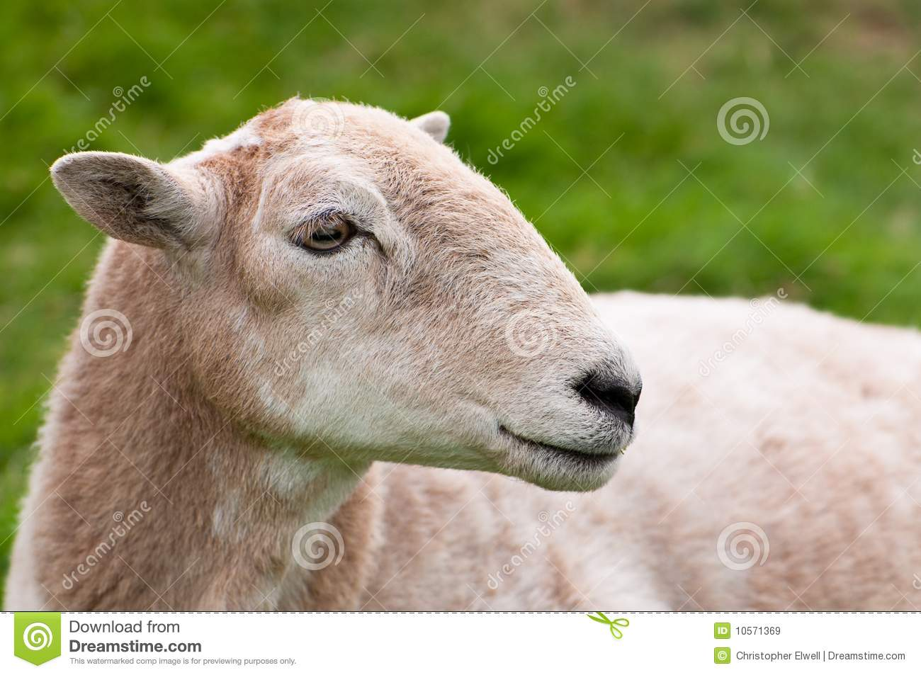 Sheep's Face Royalty Free Stock Images - Image: 10571369