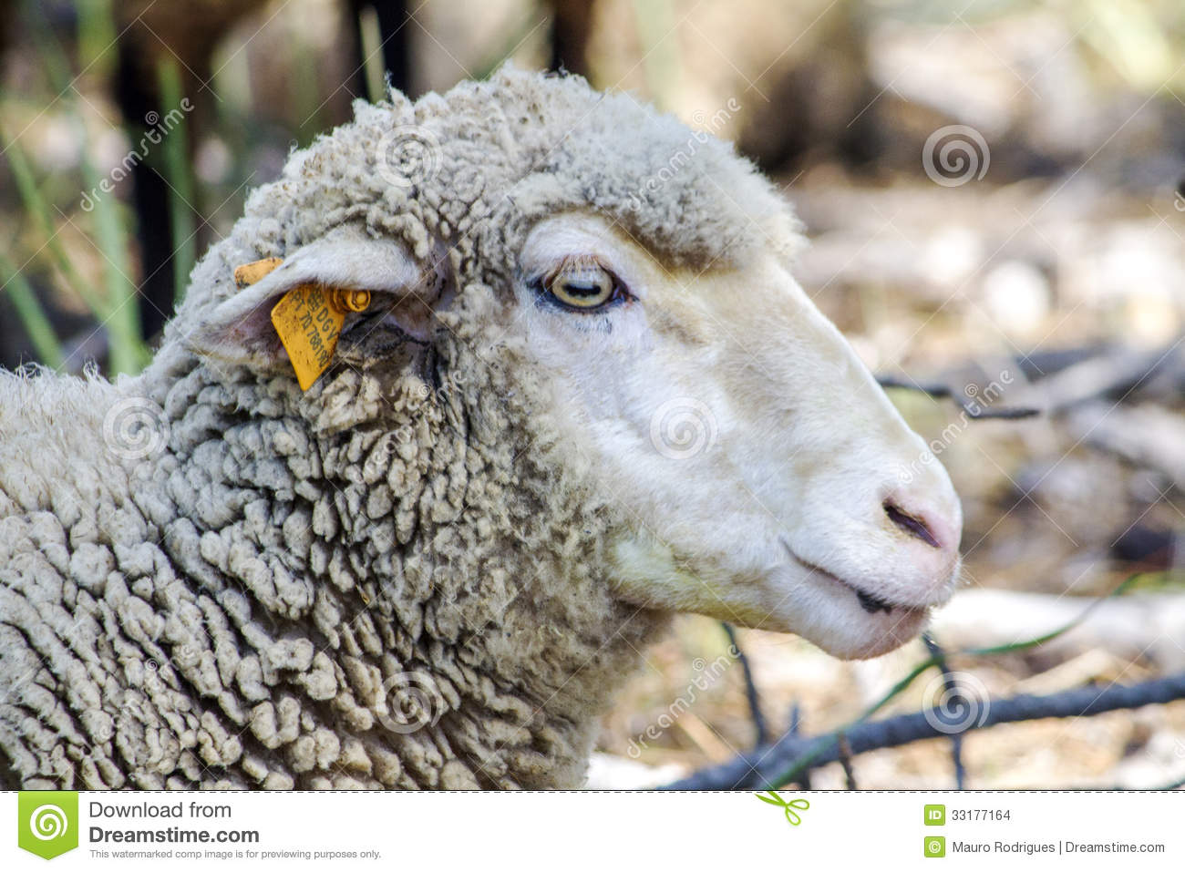 Sheep's Head Stock Images - Image: 33177164