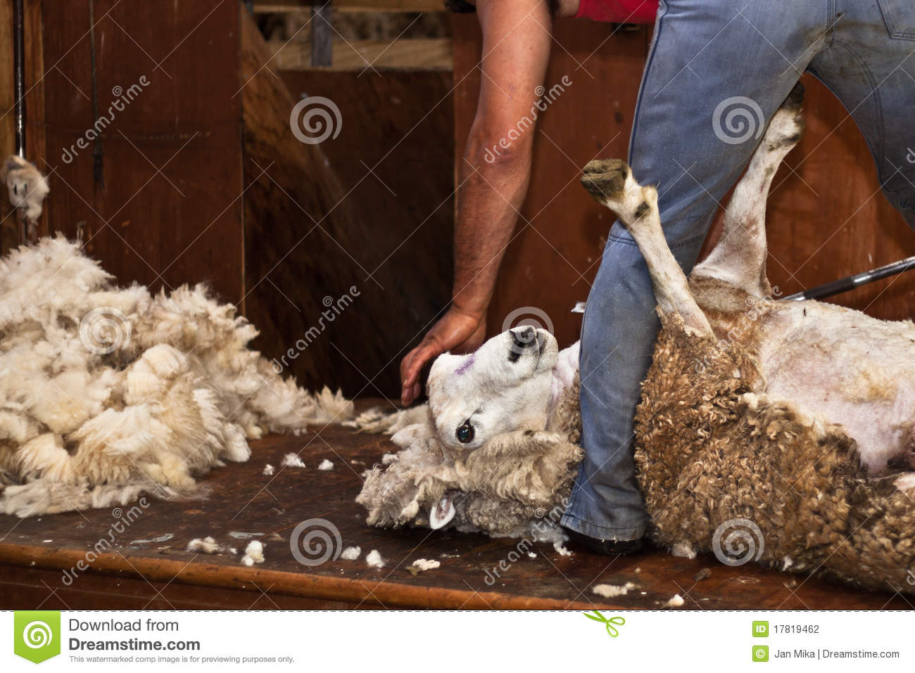 Sheep Shearing New Zealand Stock Photo Image Of Sheepman