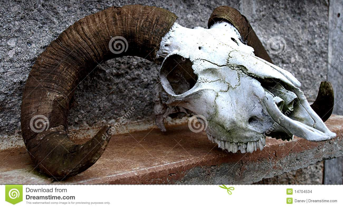 Ram Big Horn >> Sheep Skull Stock Images - Image: 14704534