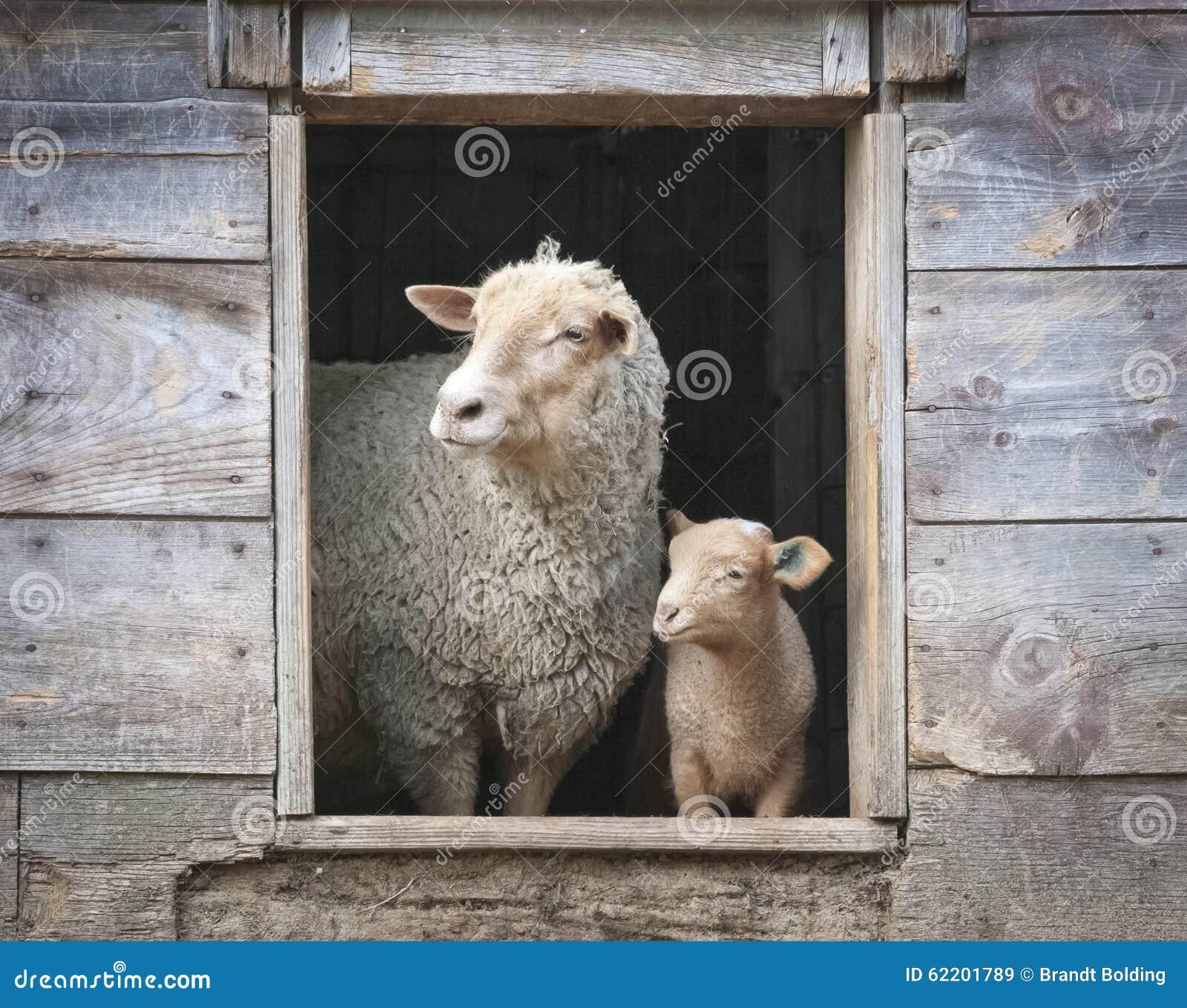 Sheep and Small Ewe, in Wooden Barn Window