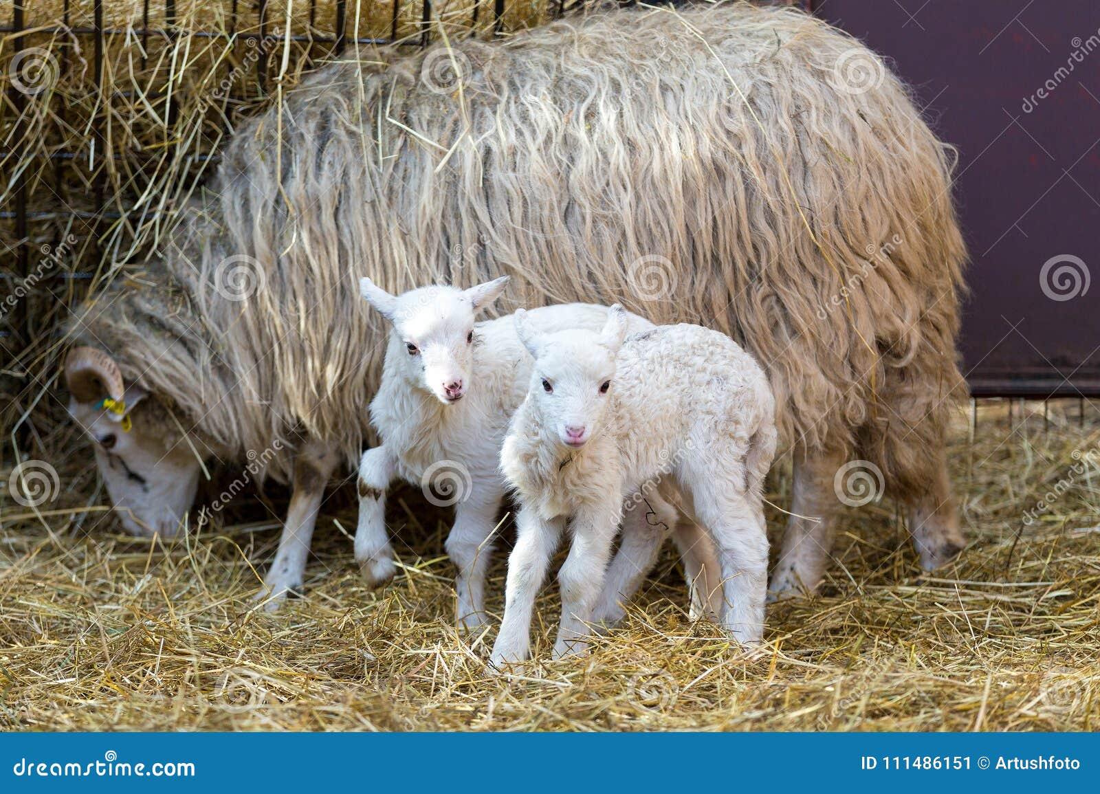 Sheep with lamb, easter symbol