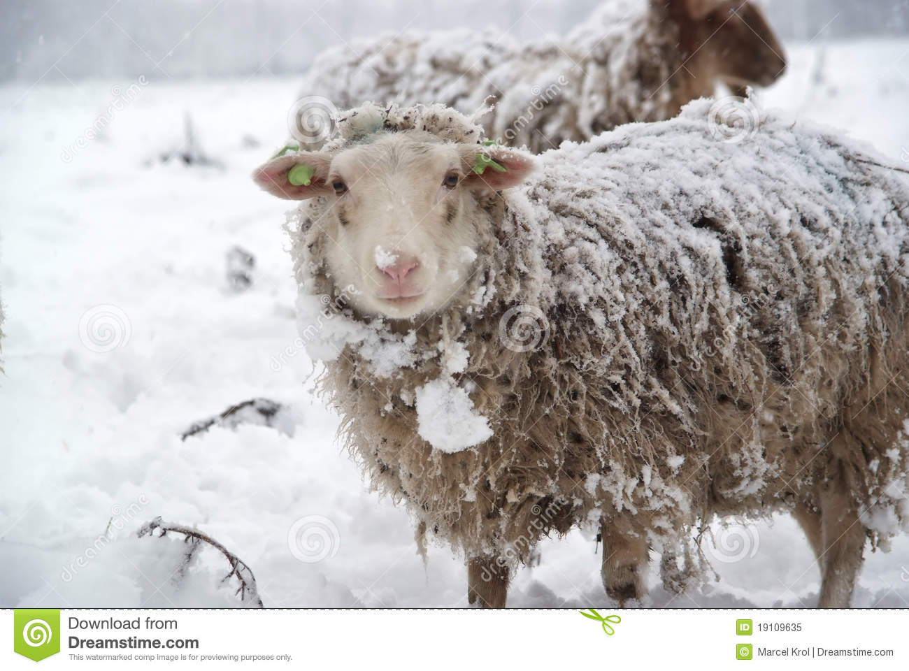 Sheep In The Snow Royalty Free Stock Photo - Image: 19109635