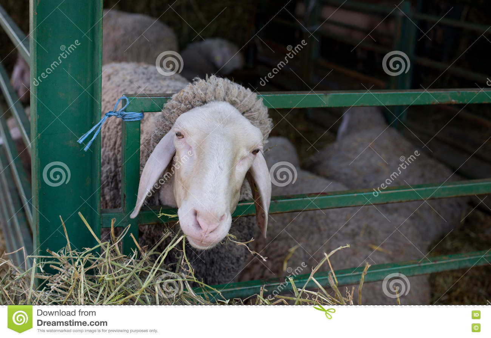 Sheep stuck head in fence
