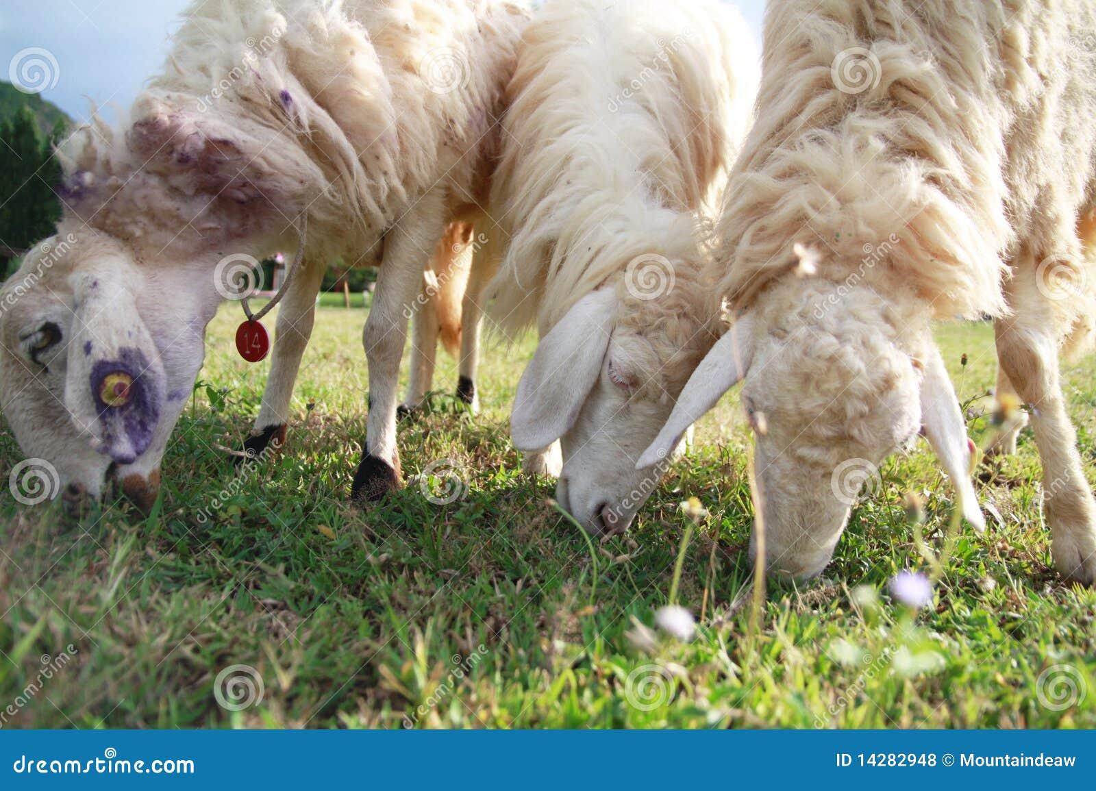 Three sheep - photo#22