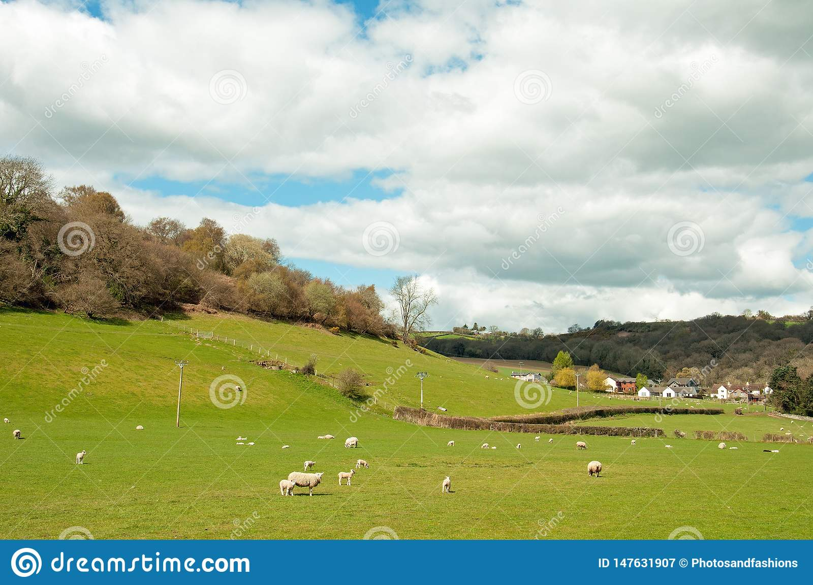 Sheep and young lambs in a springtime field in the English countryside.