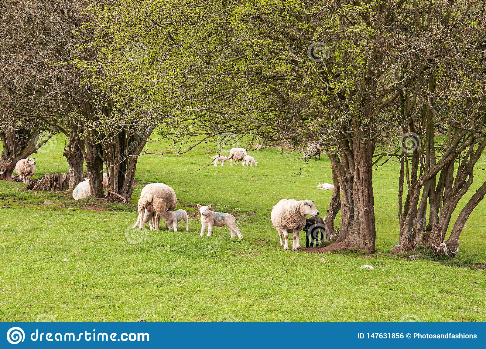 Sheep and young lambs in a springtime meadow in the English countryside.