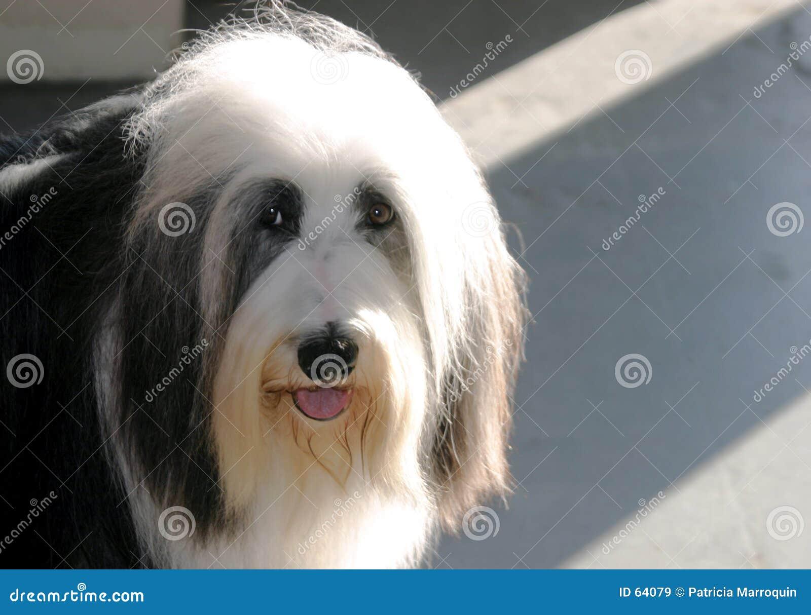 Sheepdog acanhado