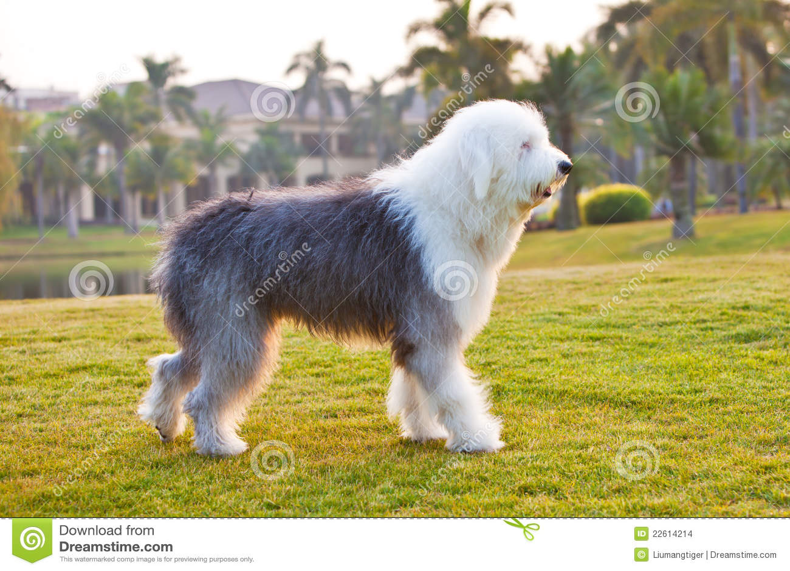 Sheepdog inglês velho