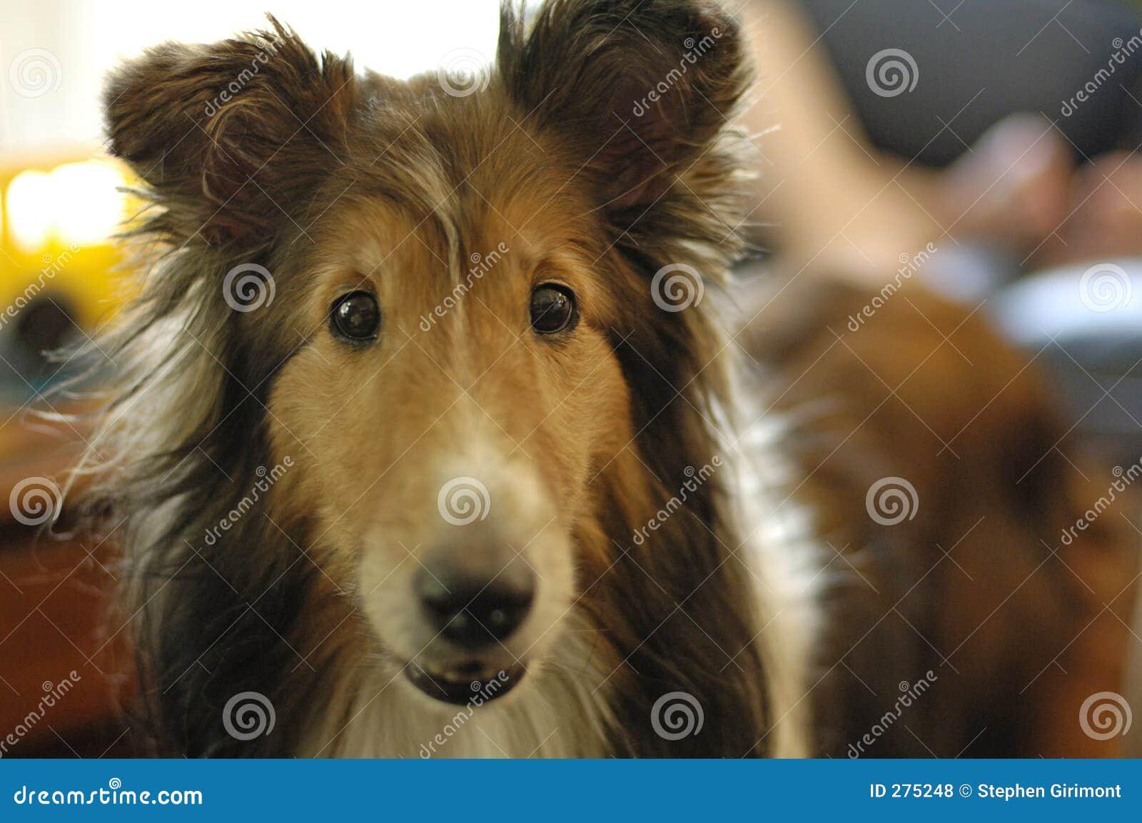 Sheepdog shetland