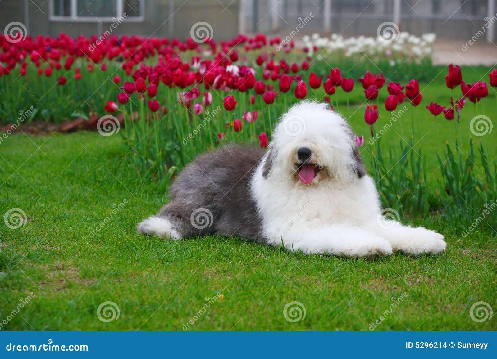 Sheepdog velho inglês