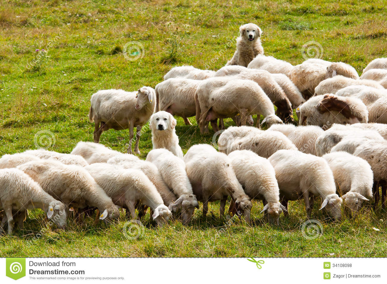 sheepdogs-two-dogs-shepherd-guarding-flock-sheep-34108098.jpg