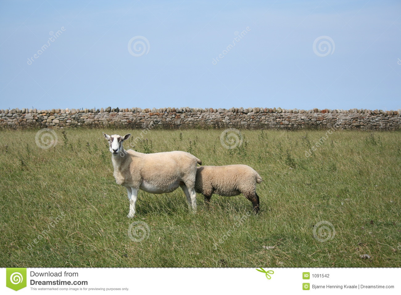 sheepish 2 stock photo image of cover protection noser 1091542
