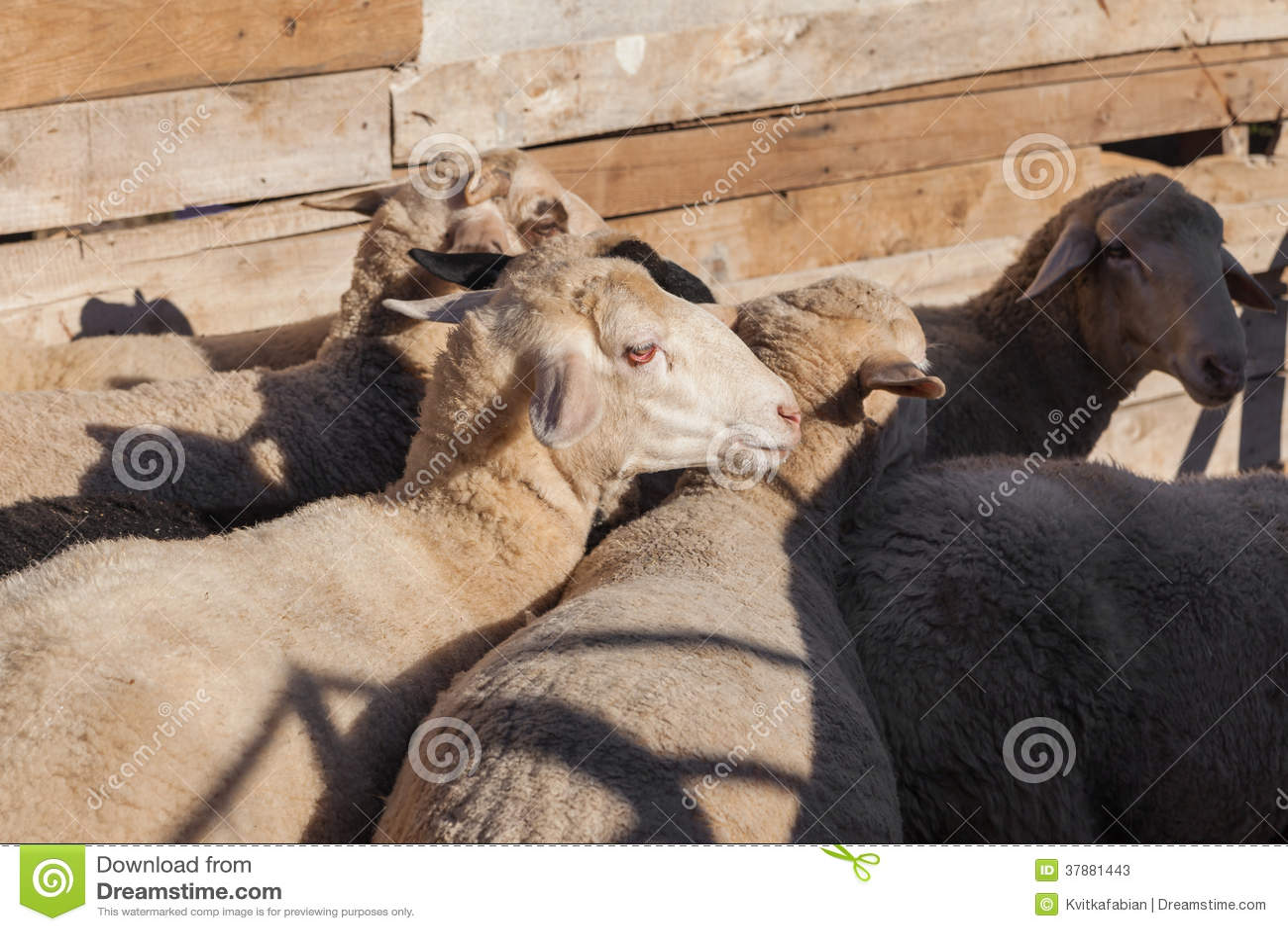Sheeps στο αγρόκτημα