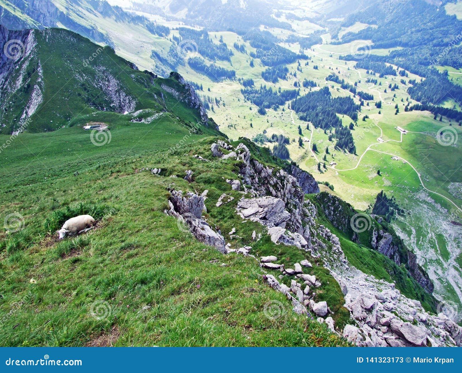 Sheeps on Alpine pastures of Alpstein mountain range seek refreshment from the summer sun