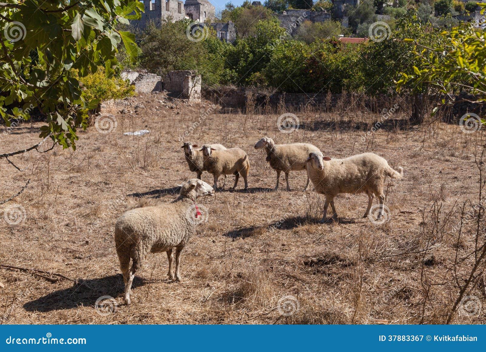 Sheeps in een spookstad van Kayakoy