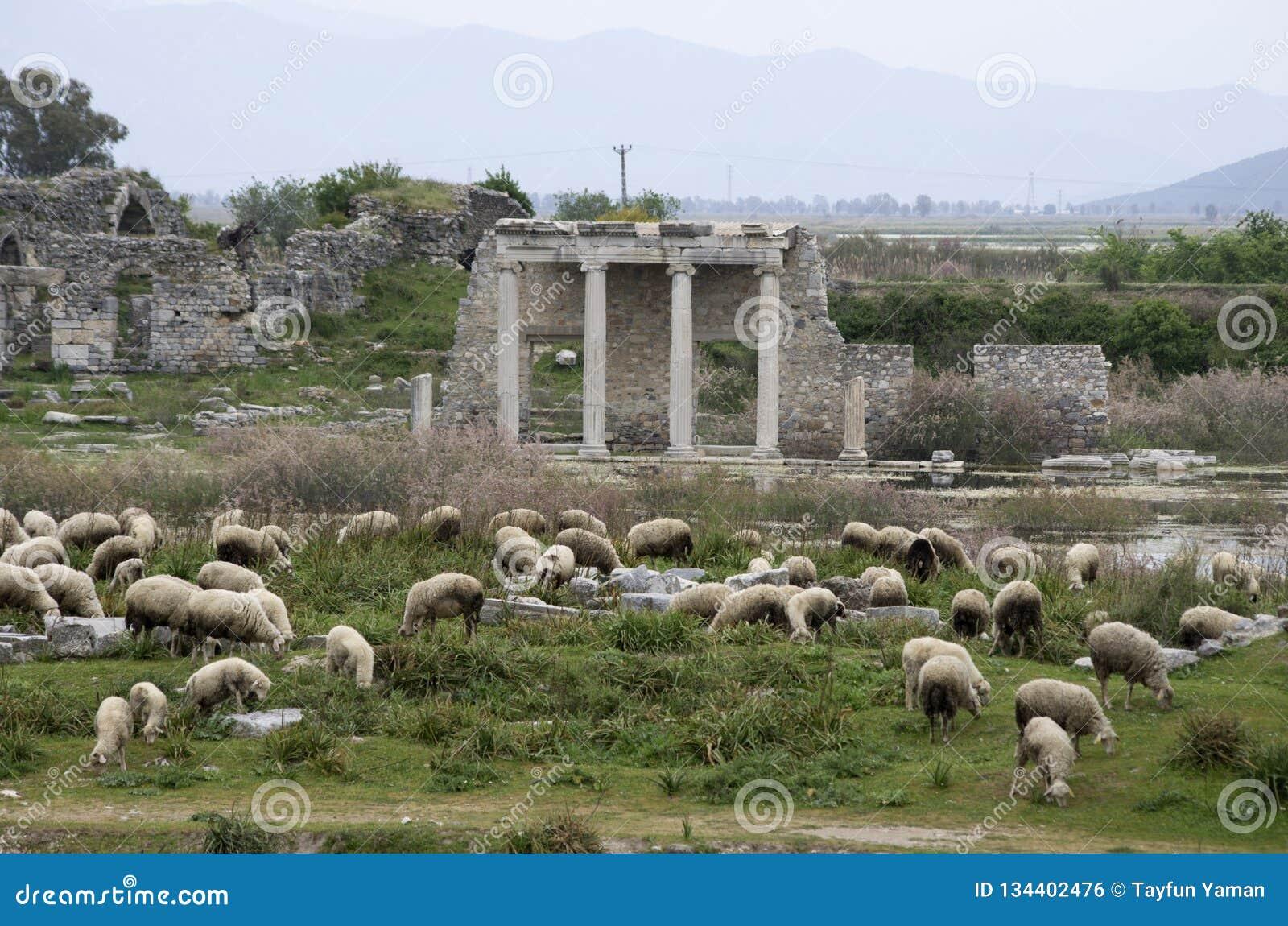 Sheeps het weiden voor Apollon Temple in de oude stad van Miletus, Turkije
