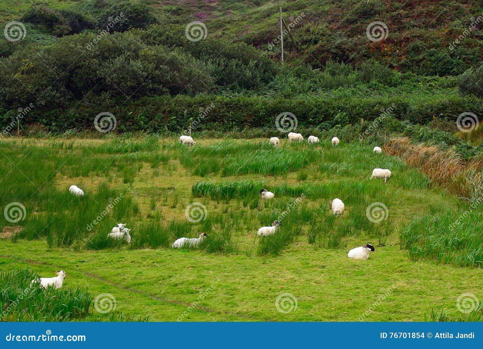 Sheeps Kerry, Irland