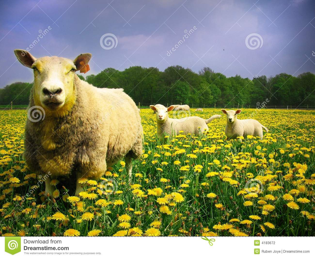 Sheeps and lambs