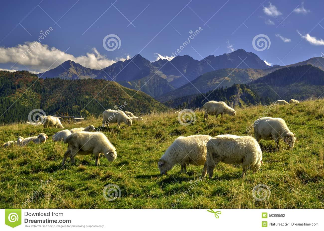 Sheeps on a meadow