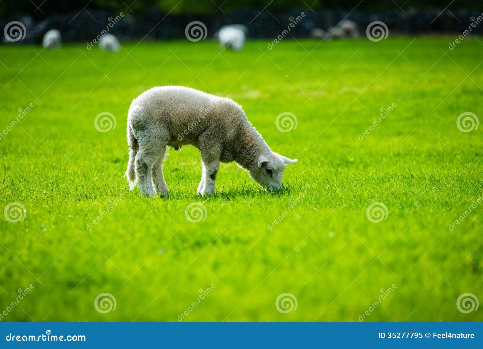 Sheeps of Norway