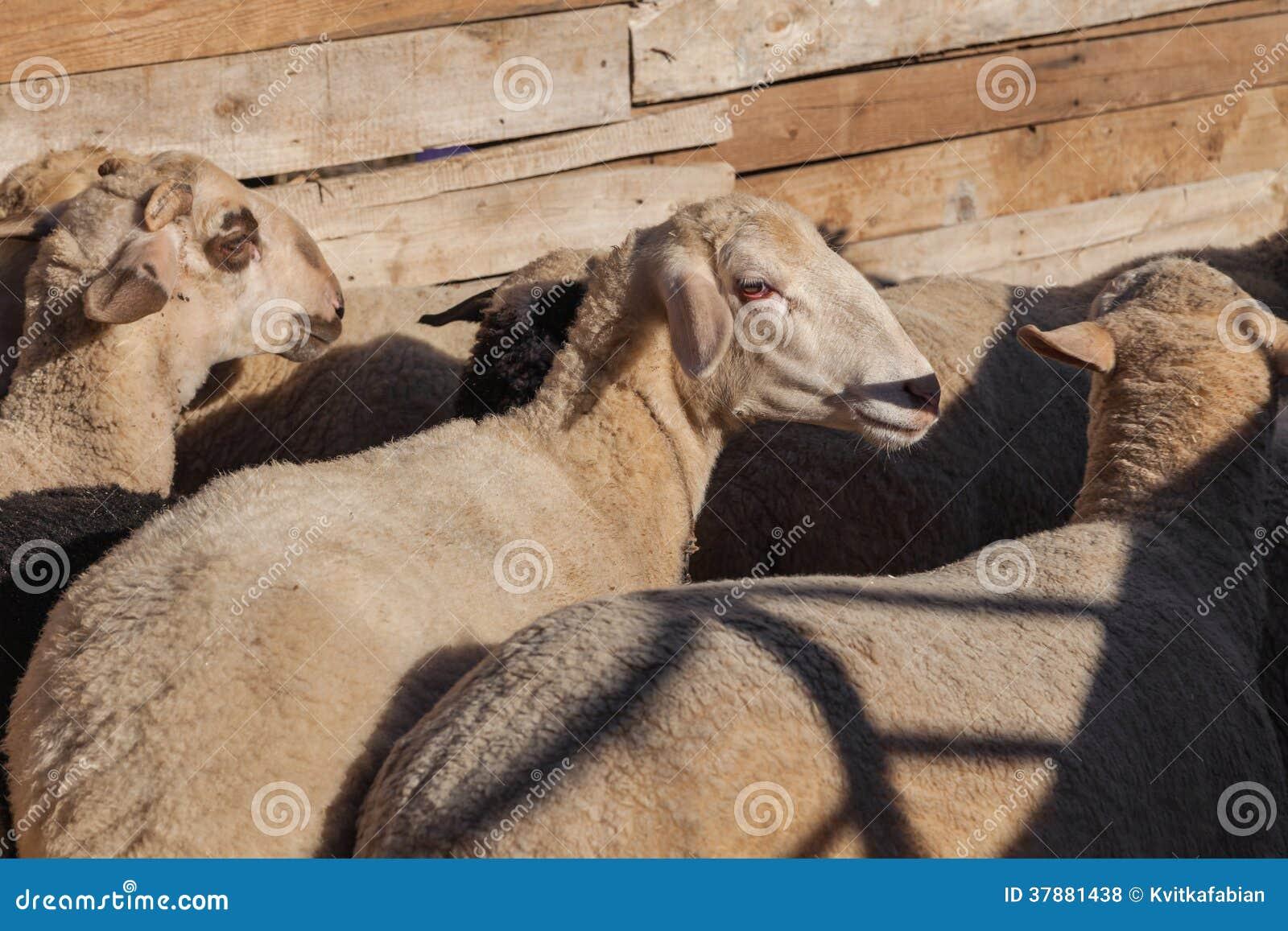 Sheeps op het landbouwbedrijf