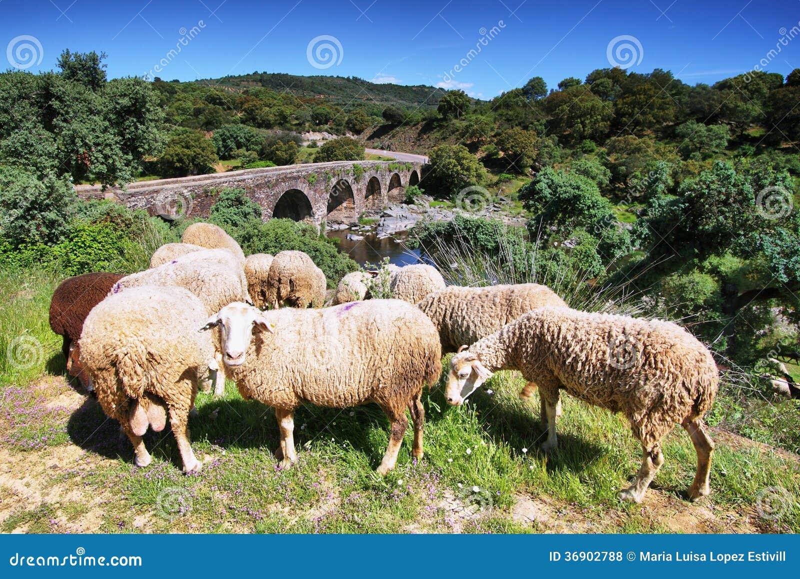 Sheeps patrzeje ja i rzymski most przy tłem