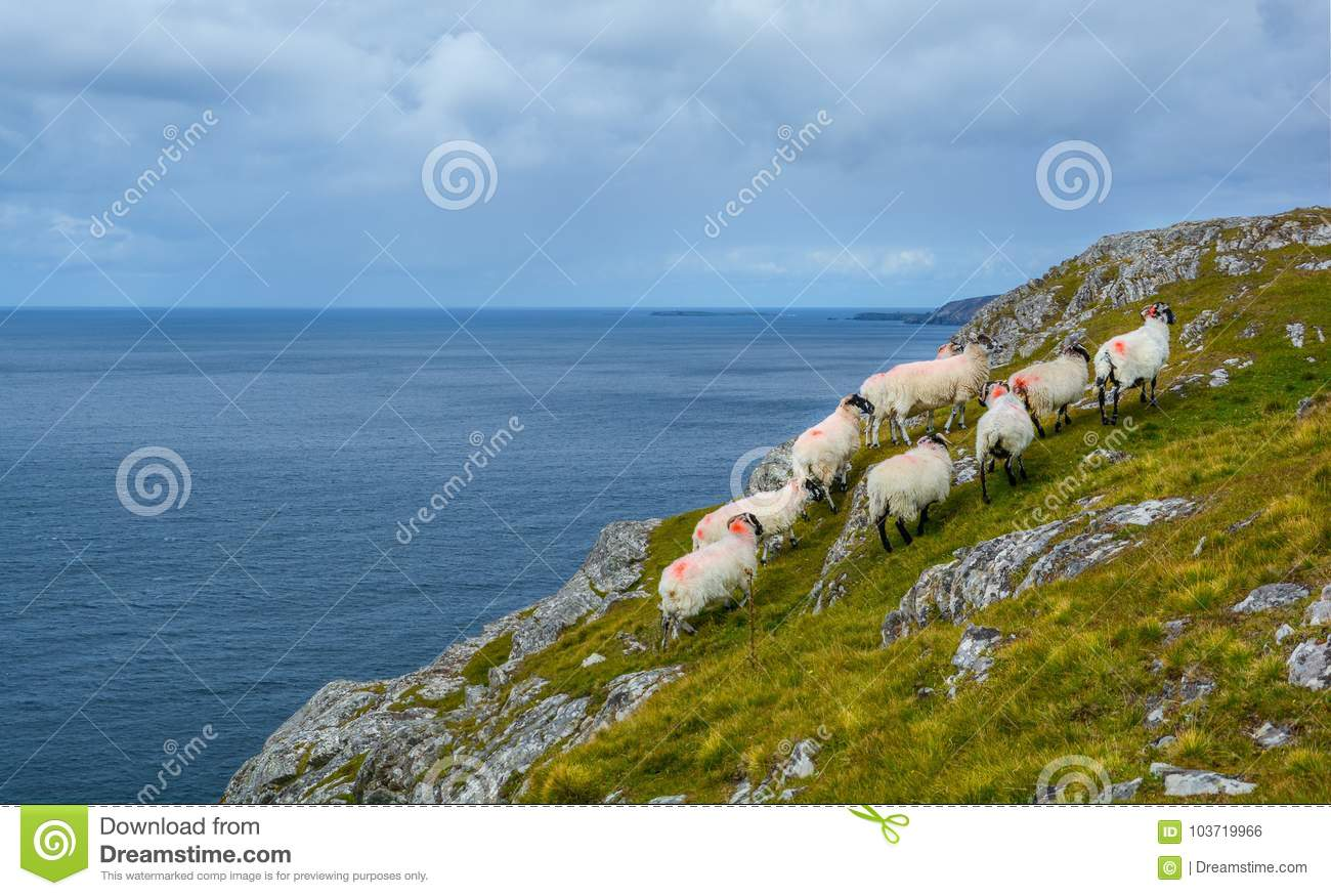 Sheeps roaming near the Slieve League, County Donegal, Ireland