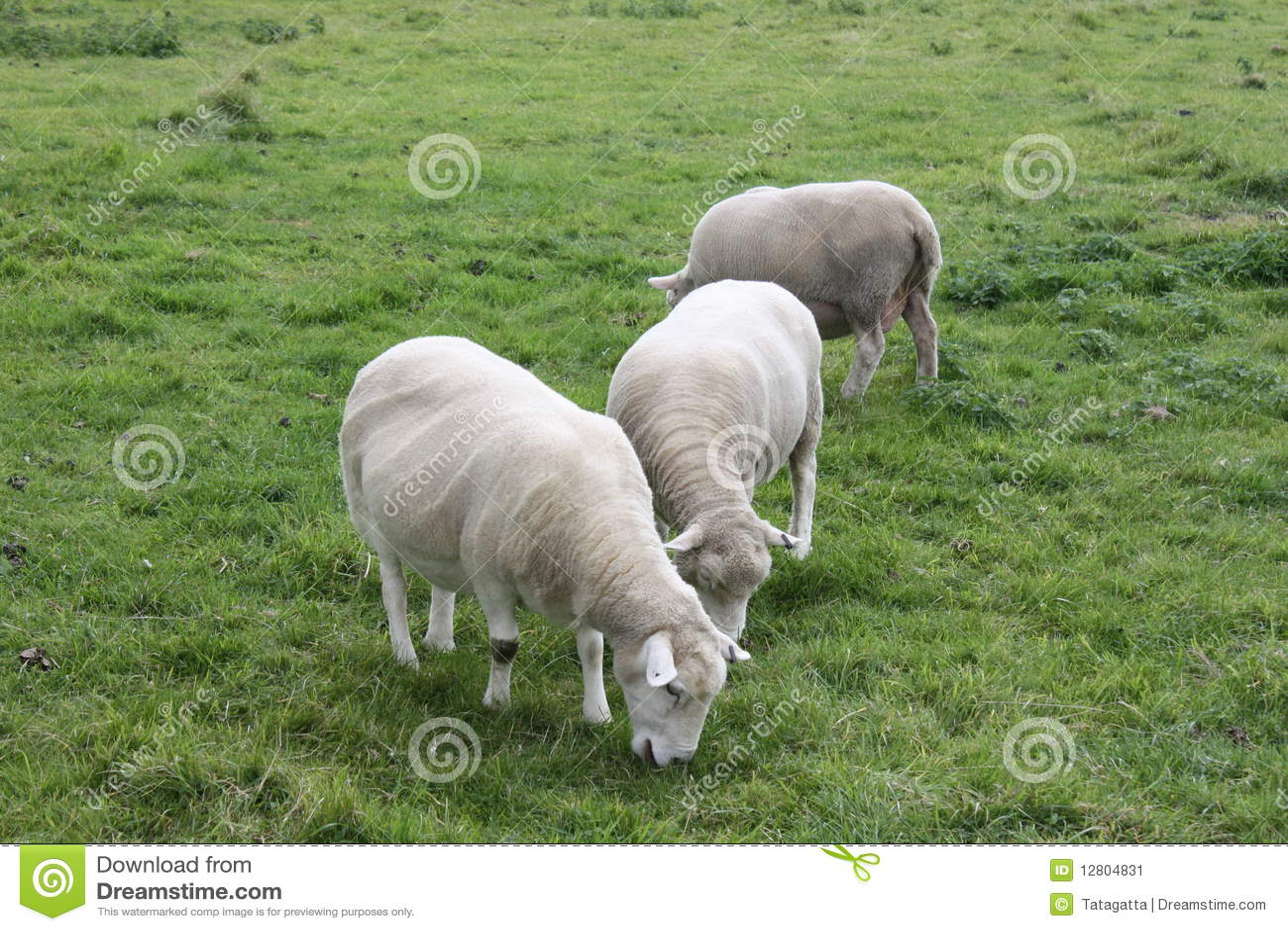 Sheeps Shorn