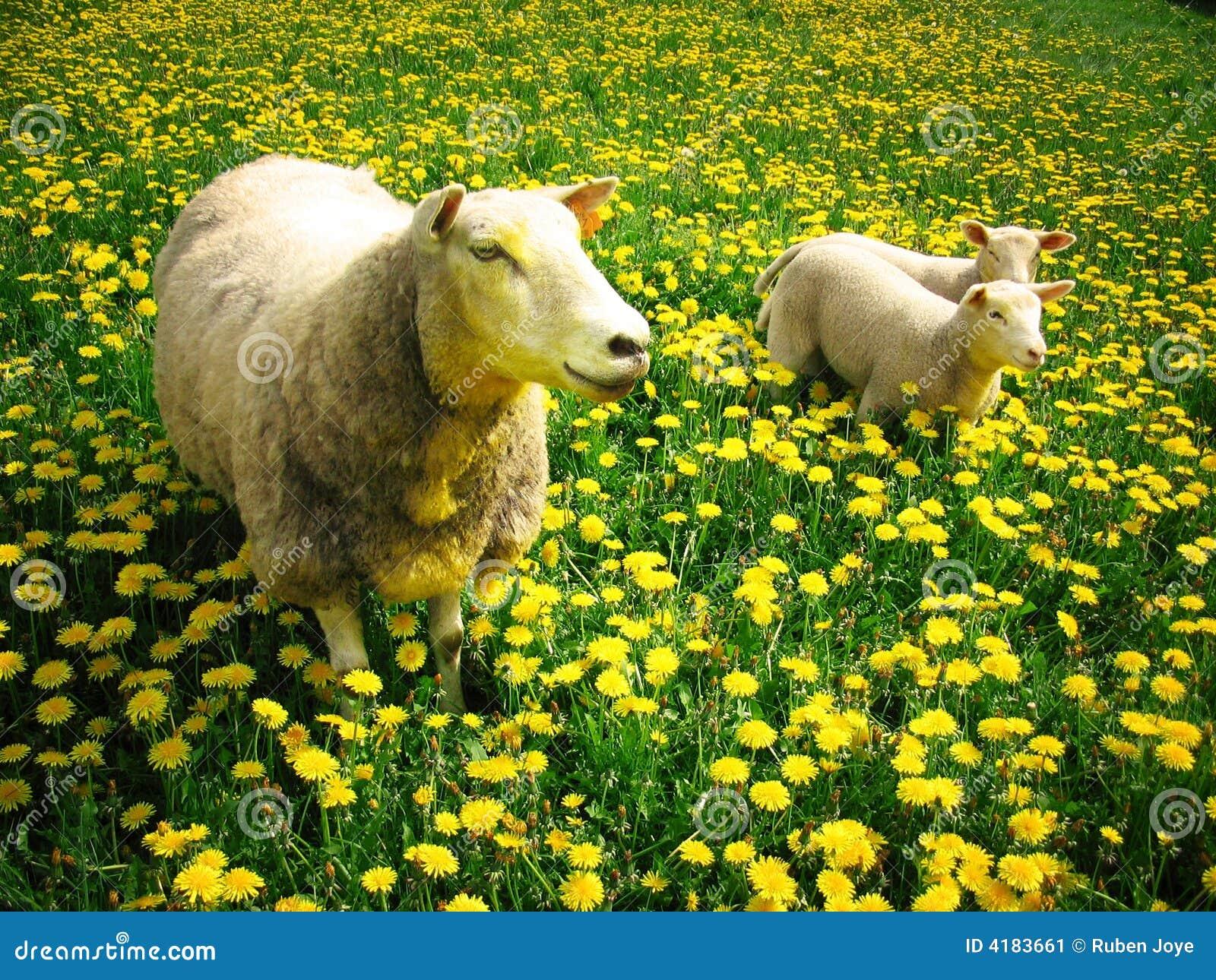 Sheeps und Lämmer