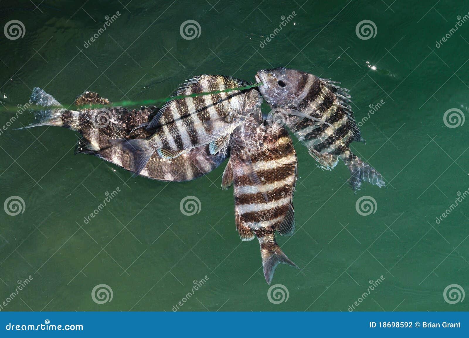 Sheepshead Fish Archosargus Probatocephalus Stock ...Saltwater Sheepshead Fish Good To Eat