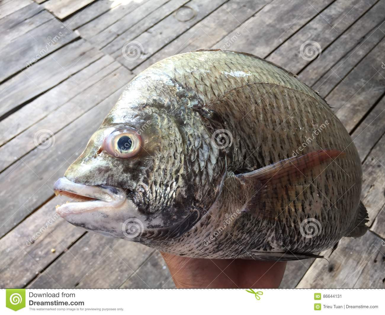 The sheepshead, scup, and red/black seabream, Pagrus major