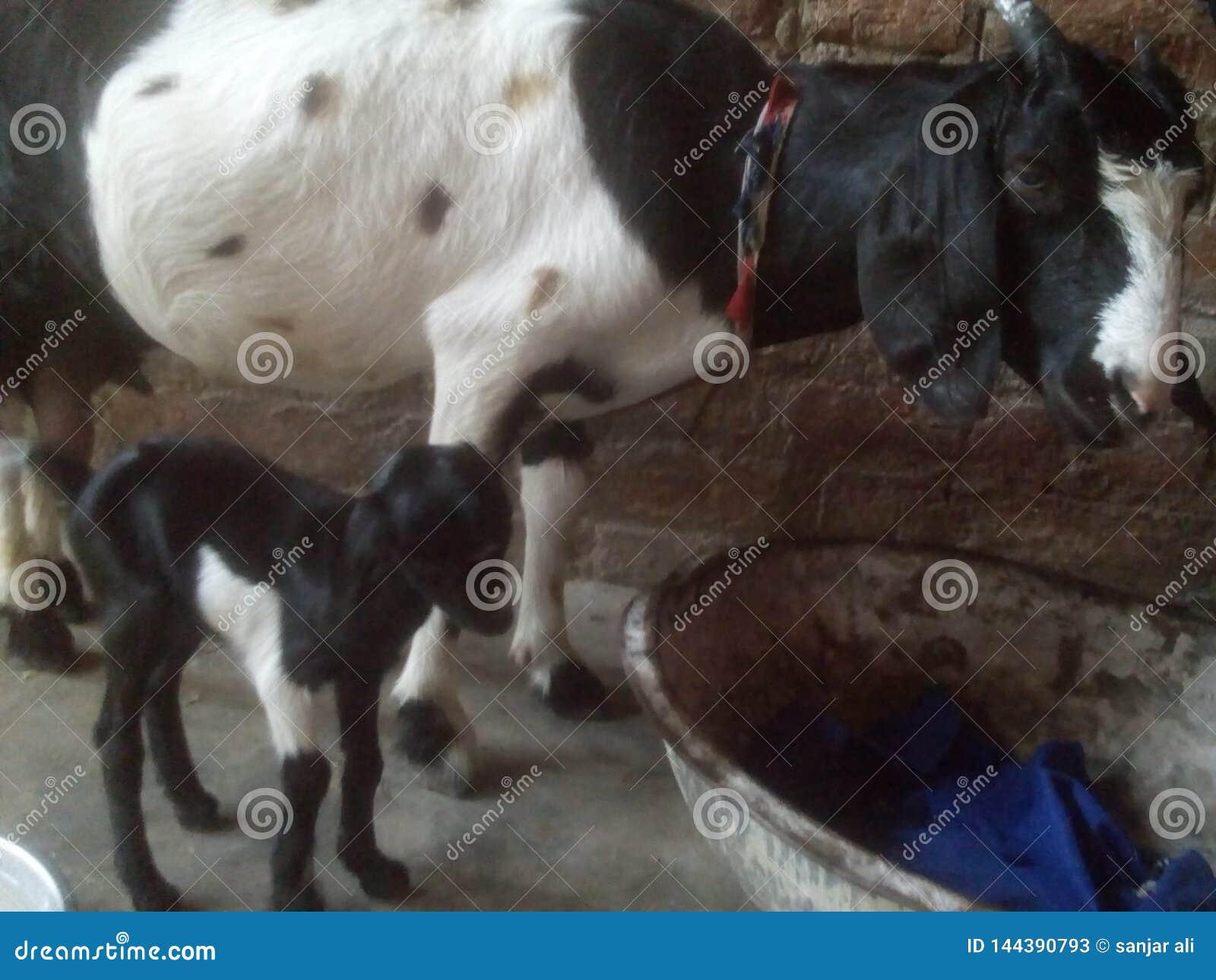 Shegoat de bébé avec la maman avec le beau moment