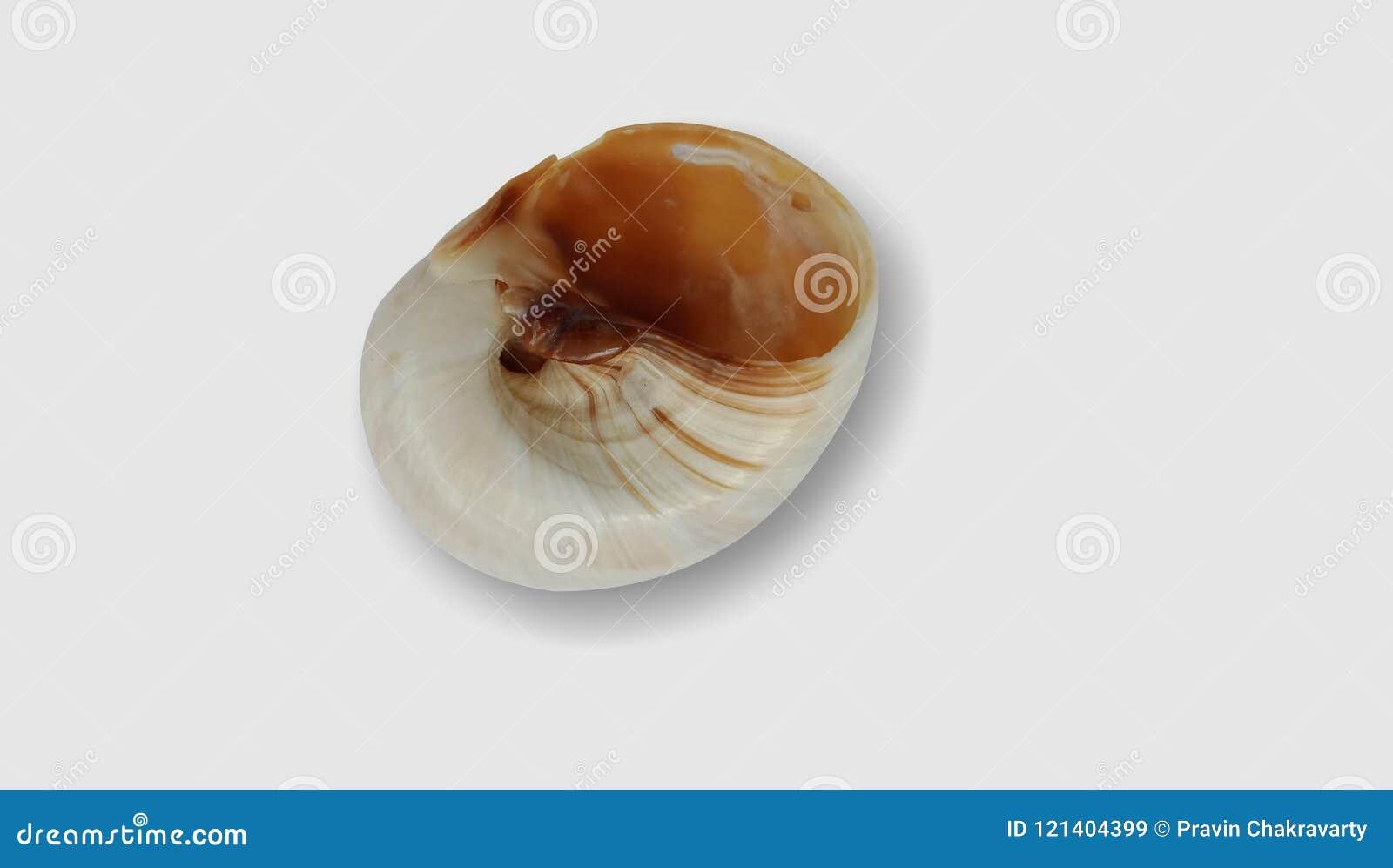 Shell avec le fond blanc wallpaper,