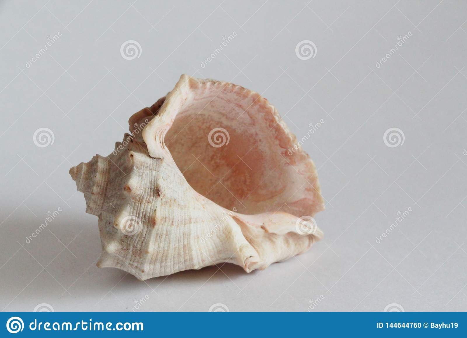 Shell de Rapana en fondo gris