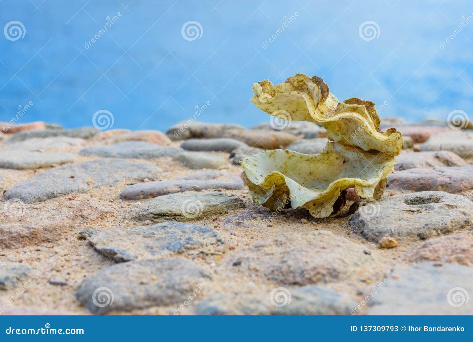 Shell du mollusque de tridacna La Mer Rouge sur le fond