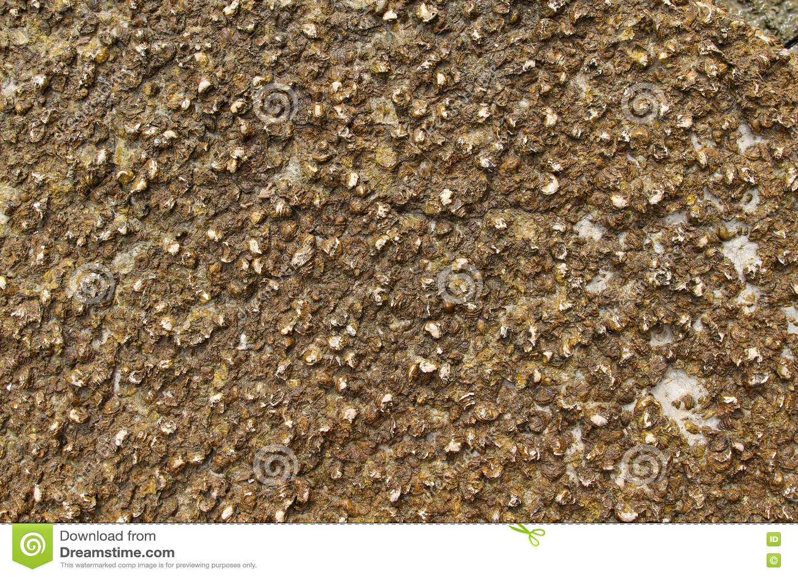 Shell fósil