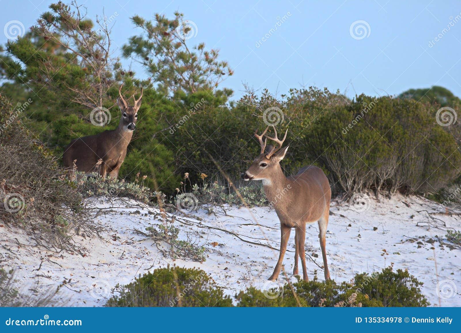 Shell Island, ciervos de la asta de la Florida que vagan por