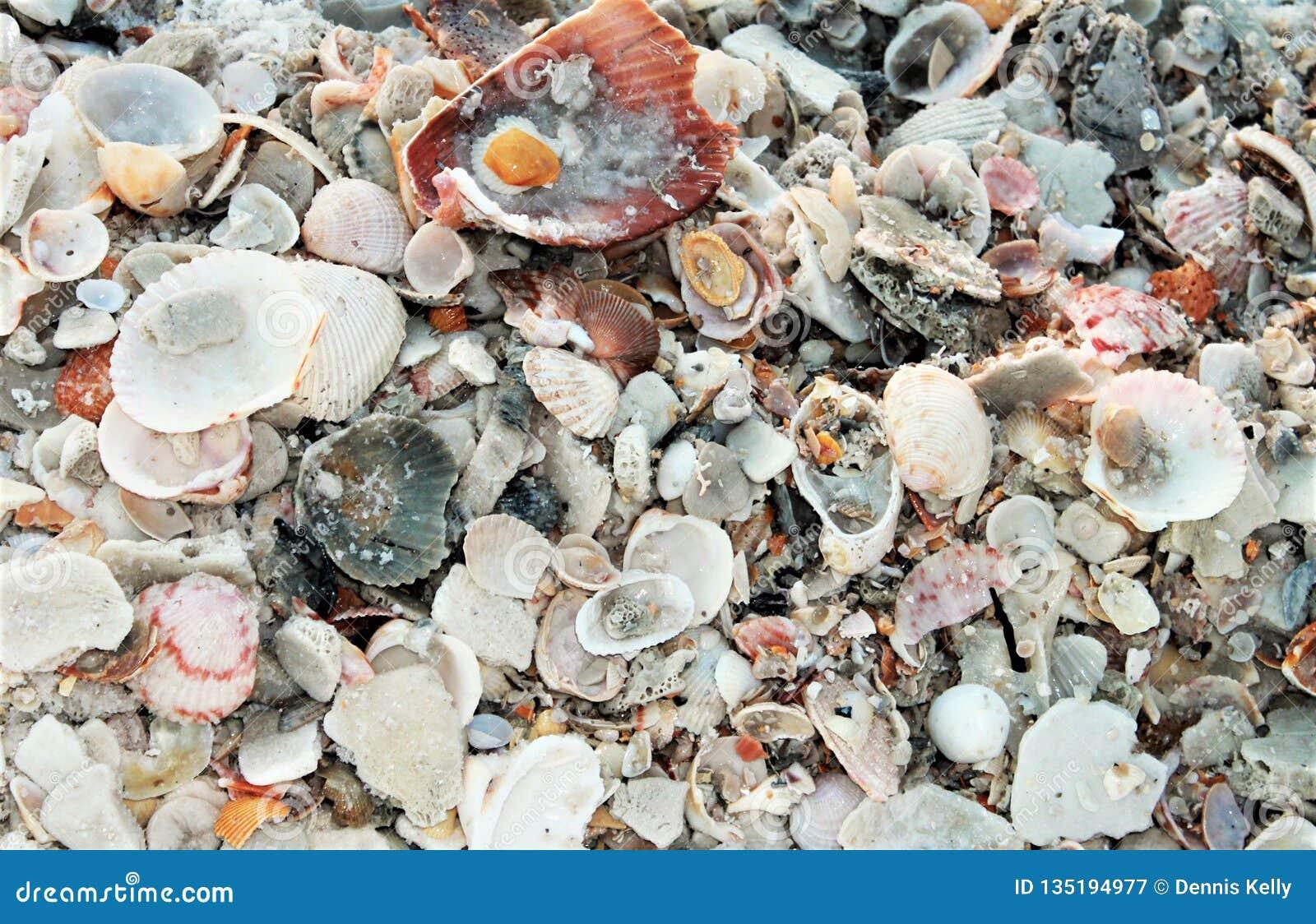 Shell Island, coquillages de plage de la Floride Panamá City