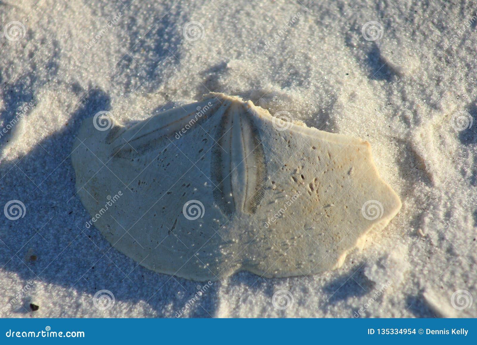 Shell Island, dólar de arena de la Florida en la playa