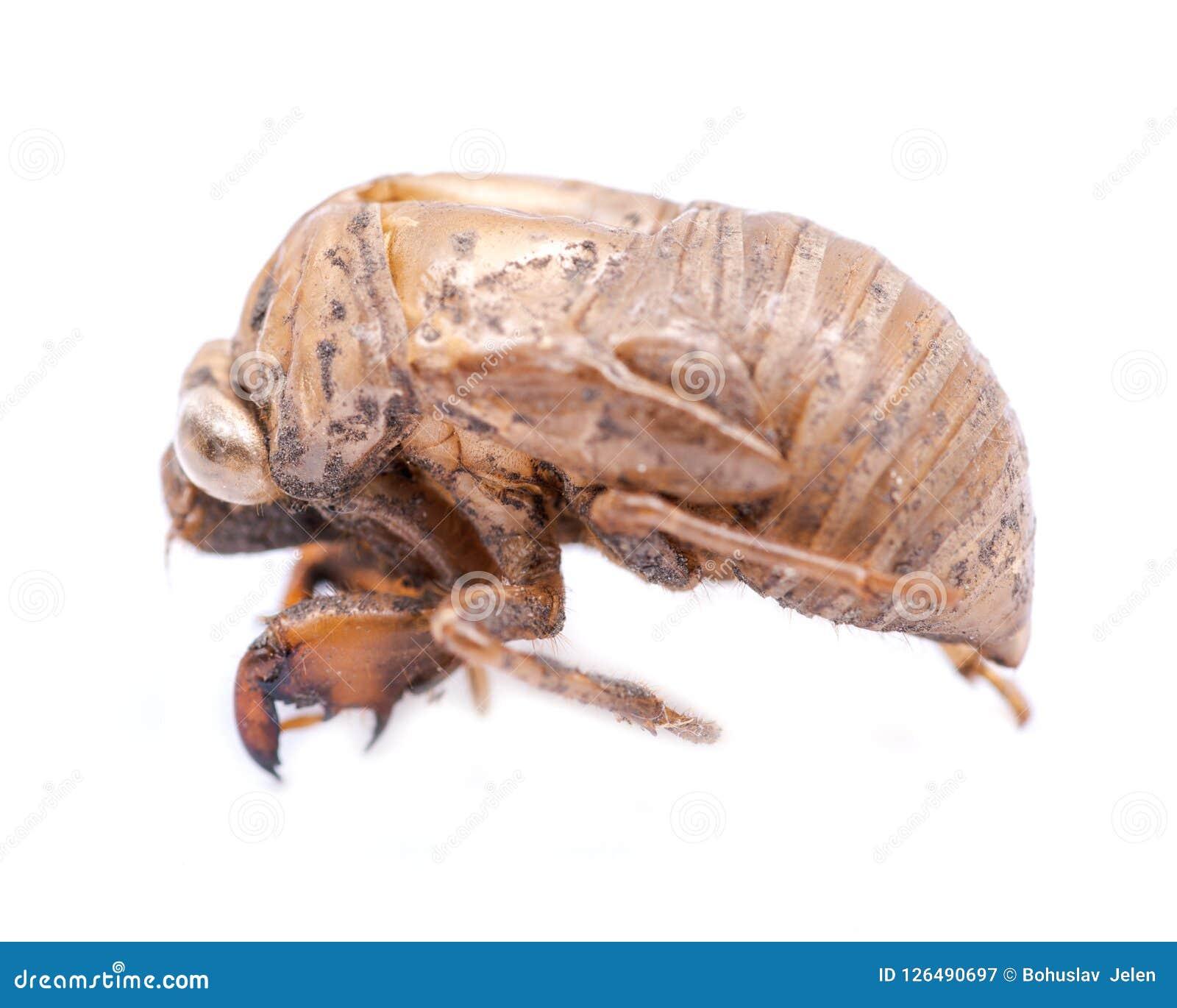 Shell van de cicadenimf exuvum Periodieke cicadetotstandkoming Exoskeleton van metamorfosenimfen Larve Ha