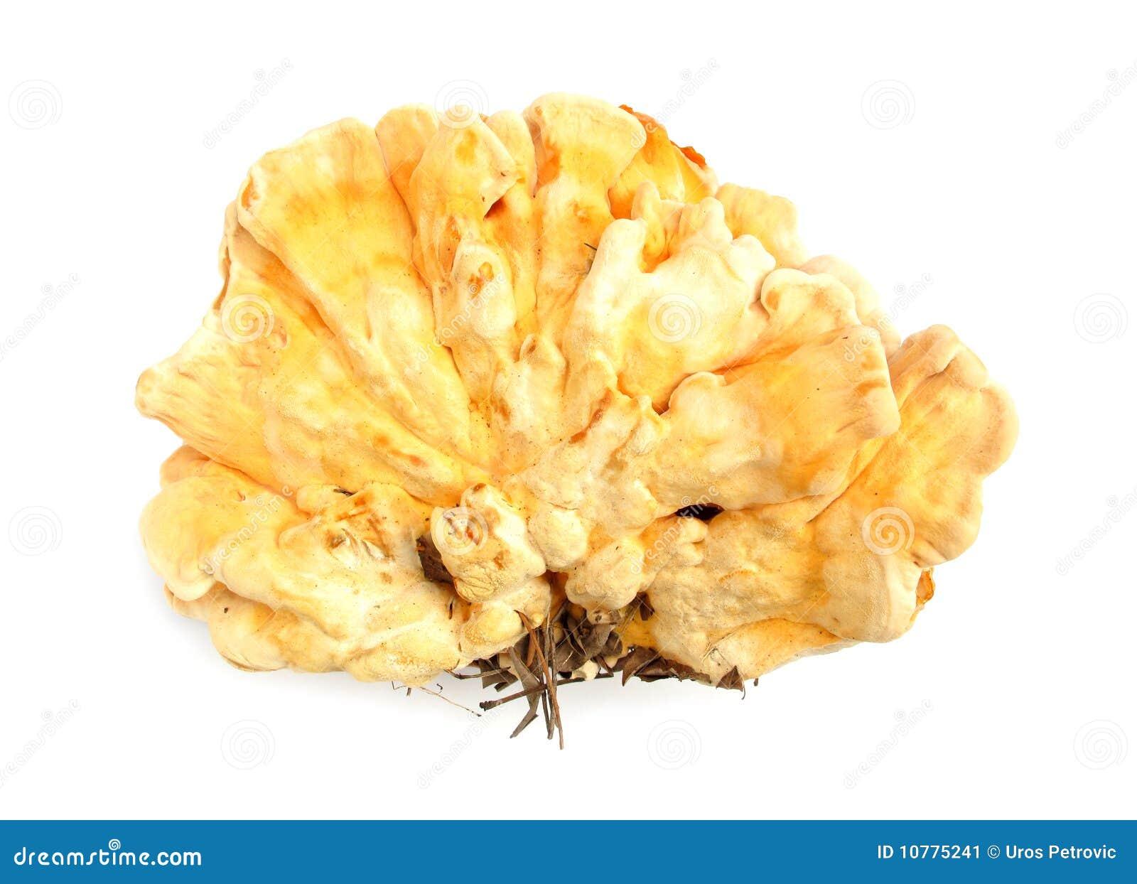 Shell van de zwavel sulphure van Laetiporus van de kippenpaddestoel
