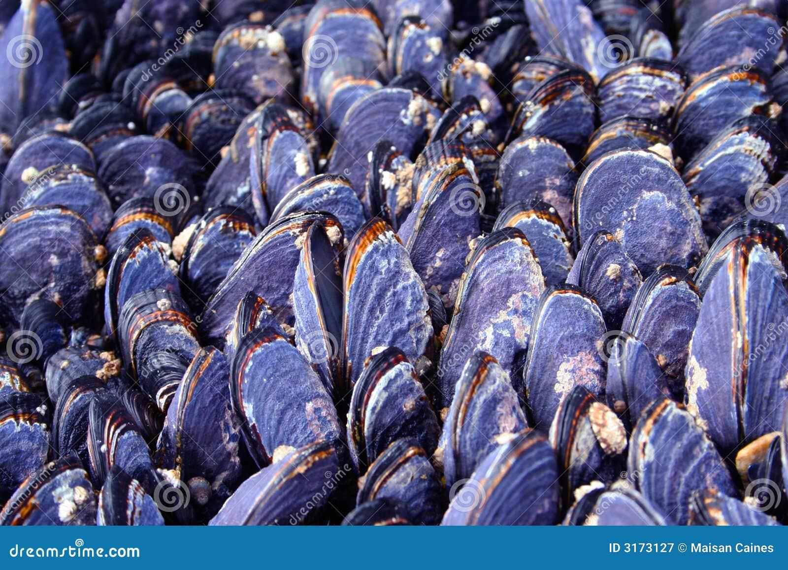 Shelles de la almeja