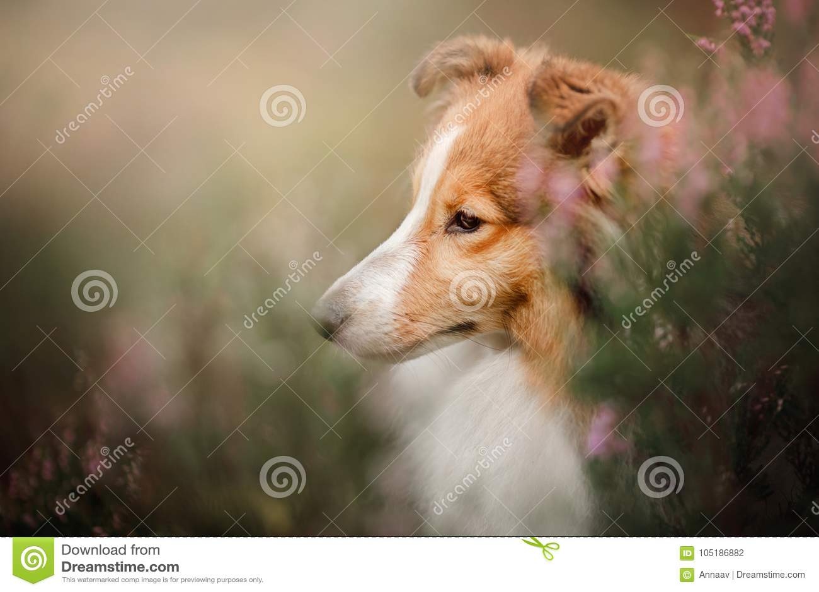 Sheltie hund i fältet