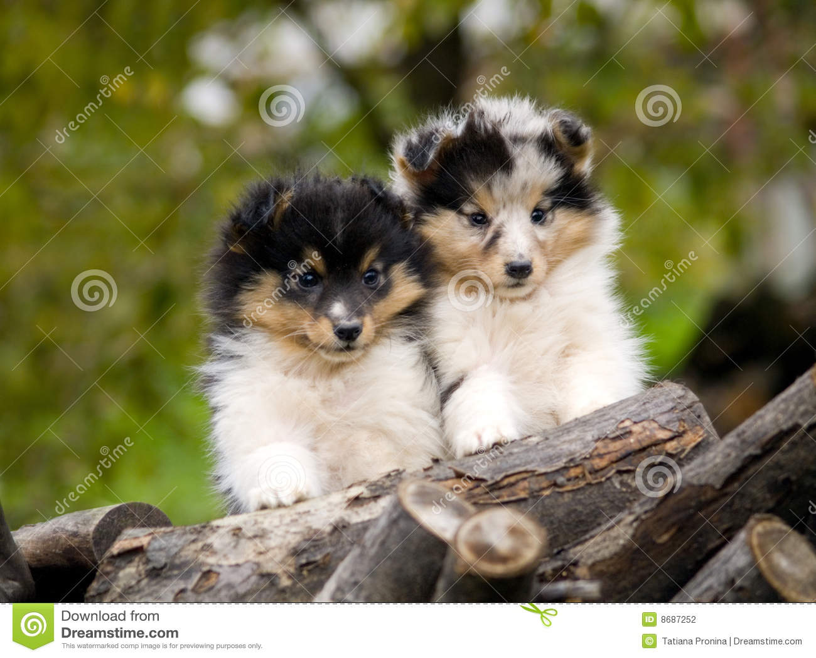 Sheltie Puppies Stock Photography - Image: 8687252