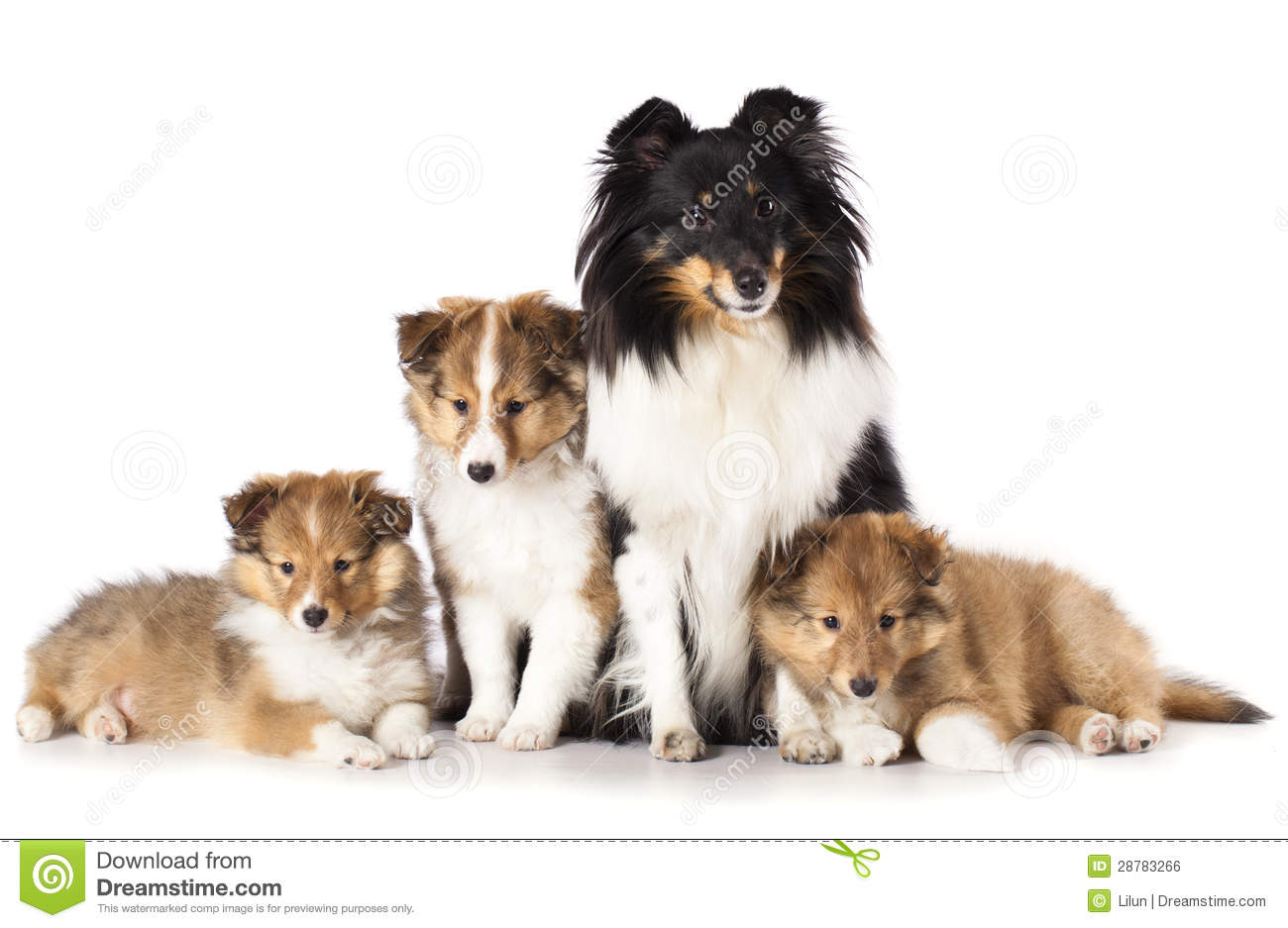 Sheltie Puppies And Mother Dog Royalty Free Stock Image ...