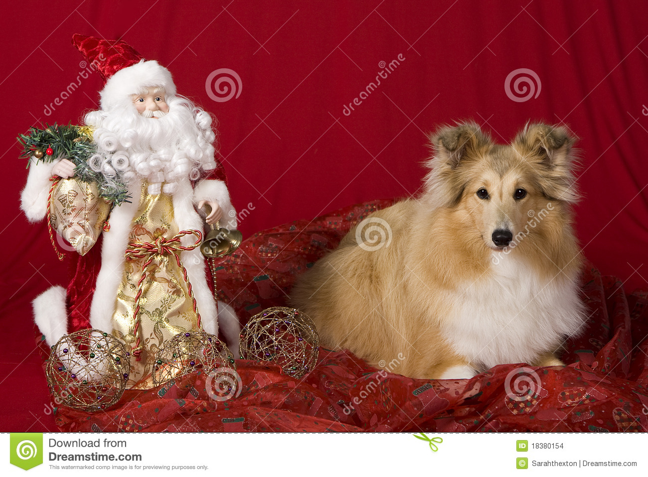 Sheltie puppy with Christmas theme